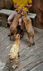 Patagonian mara (SM Tham) Tags: asia southeastasia malaysia perak ipoh tambun thelostworldoftambun pettingzoo animal rodent patagonianmara me bench climbing friendly