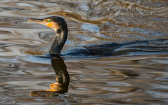 a photo of a cormorant or a photo of water reflections ? (Franck Zumella) Tags: cormoran cormorant bird oiseau lake lac water eau reflection reflexion colors couleur color yellow green blue jaune vert bleu nature fish poisson pecher wildlife action dark black sunset eat manger food nourriture eye oeil yeux orange red rouge sony a7s a7 tamron 150600 a7r