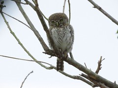 Pearl-spotted Owlet  /  Witkoluil (Pixi2011) Tags: owls krugernationalpark southafrica africa wildbirds nature