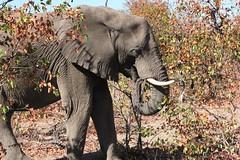 Elephant  /  Olifant (Pixi2011) Tags: elephants krugernationalpark southafrica africa wildlifeafrica big5 wildlife wildanimals animals nature