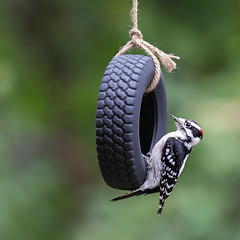Playtime (dshoning) Tags: bird downywoodpecker swing tire play autumn
