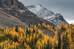 Alpine Larches in Autumn in Yoho National Park (Lee Rentz) Tags: bowrange britishcolumbia lakeohara odaraymountain yoho yohonationalpark alpine alpinelarch alpinelarches beautiful branches canada canadianrockies conifer coniferous deciduous dramatic flora forest golden high horizontal landscape larch larches larixlyallii leaves mountainous mountains nature needles northamerica peak picturesque plant rock rockymountains rugged scenery sedimentary september subalpine subalpinelarch terrain timberline tree trees wild woods yellow