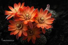 Echinopsis Chamaecereus (Lucas Gutiérrez) Tags: echinopsischamaecereus flordecactus macrofotografía luz granadanatural d700