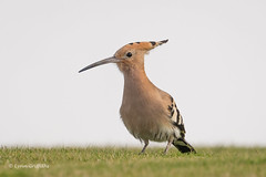 Hoopoe 502_2954.jpg (Mobile Lynn) Tags: hoopoe birds nature bird fauna wildlife yaiza canaryislands spain coth specanimal coth5 ngc npc