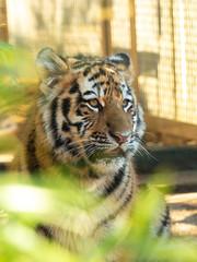 Tiger Cub (Future-Echoes) Tags: 4star 2019 amurtiger bigcat bokeh cat colchesterzoo cub depthoffield tiger tigercub young