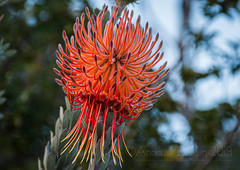 Rocket Pincushion (sfb_dot_com) Tags: shrub origin foliage winter climate compound nanophanerophyte leaf angiosperm proteaceae season texture red simple hairy reproductive perennial evergreen mountains southafrica africa lifespan warmtemperate proteales inflorescence endemic yellow habit dicot capetown capeprovince