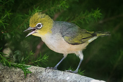 A Silvereye dealing with the heat (Rod Burgess) Tags: birds australia canberra act silvereye australiancapitalterritory