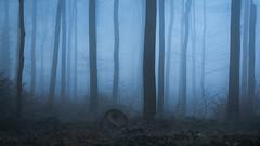 Mysterious Forest (Pascal Riemann) Tags: ruhrgebiet deutschland nebel landschaft baumstumpf waltrop blauestunde pflanze baum wald natur availablelight bluehour germany landscape nature outdoor forest plant