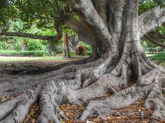 Moreton Bay Fig (sander_sloots) Tags: ficusmacrophylla moreton bay fig australian banyan vijgenboom tree roots wortels park perth highgate boom panasonic dctz90 lumix palm big bigtree moretonbayfig geocache hyde hydepark huge groot