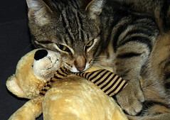 Mon doudou!! /  My Teddy bear!! (vedebe) Tags: chat animaux animal couleurs