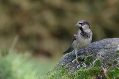 Huismus (jandewit2) Tags: huismus mus housesparrow bird vogel natuur nederland netherlands natuurmonumenten nikon nature