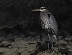 2I1A6082a (lfalterbauer) Tags: canon 7dmarkii nature wildlife photographer photography digital greatblueheron camera lake ornithology avian