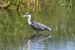 K32P8530c Grey Heron, Lackford Lakes, September 2019 (bobchappell55) Tags: nature wild wildlife lackfordlakes suffolk bird greyheron ardeacinerea water