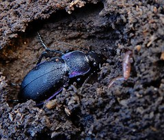 Carabus problematicus (rockwolf) Tags: carabusproblematicus groundbeetle carabidae coleoptera beetle insect ellesmere shropshire rockwolf