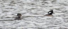 01012086516asmweb (ecwillet) Tags: hoodedmerganser hoodie merganser ducks wildwoodparkharrisburgpa nikon nikond500 nikon200500f56