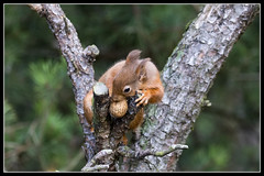 IMG_0046 Red Squirrel (In Explore) (Scotchjohnnie) Tags: redsquirrel sciurusvulgaris squirrel squirrelphotography rodent mammal wildlife wildlifephotography wildanimal wildandfree nature naturephotography canon canoneos canon7dmkii canonef100400f4556lisiiusm scotchjohnnie explore