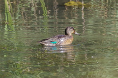K32P8542c Teal, Lackford Lakes, September 2019 (bobchappell55) Tags: nature wild wildlife lackfordlakes suffolk bird teal dabblingduck anascrecca water