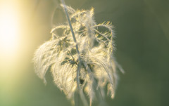 Clematis seed head (Dhina A) Tags: sony a7rii ilce7rm2 a7r2 a7r smc pentax m 50mm f17 pentaxm50mmf17 bokeh manual kmount legend manualfocus clematis seed head sunlight sun light