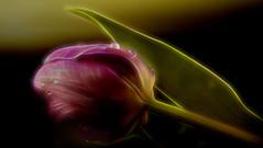 The light returns (Birgitta Sjostedt) Tags: tulip closeup macro nature texture filter topaz