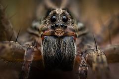 Lycosidae (J Chiavo) Tags: araña arañalobo argentina birdwatching canon6d lycosidae macrofotografía macrophotography marcospaz naturaleza nature spider wolfspider