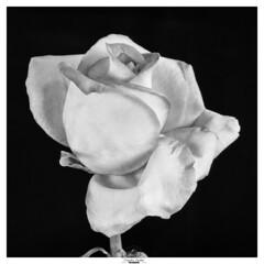 The unveiling of the rose (claudiov958) Tags: biancoenero blancoynegro claudiovaldés černýabílý film ilfordfp4plus ilfosol319 largeformat noiretblanc pretoebranco rosa rose schneideraposymmar150mmf56 selfdeveloped sinarp studio tabletop blackwhite czarnyibiały flower ngc schwarzundweiss черноеибелое