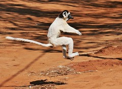 Hopping Verreaux's Sifaka (Propithecus verreauxi) (Susan Roehl) Tags: islandofmadagascar offtheeastcoastofafrica berentyreserve verreauxssifaka propithicusverrauxi spinyforest mediumsized endemic sueroehl panasonic photographictours naturalexposures lumixdmcgh4 100400mmlens handheld ngc coth5
