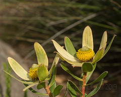 Rock Conebush (sfb_dot_com) Tags: shrub proteaceae origin foliage winter season southafrica nanophanerophyte leathery angiosperm endemic conservationstatus mountains fynbos texture nearthreatened africa reproductive perennial dioecious evergreen male leaf lifespan warmtemperate proteales climate simple yellow habit dicot nt capetown capeprovince