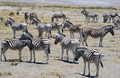 Zebras Galore (Alan1954) Tags: zebra animals nature etosha namibia africa holiday 2018 platinumpeaceaward platinumheartaward