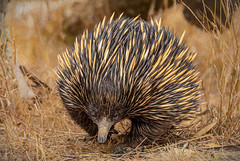 GRS20200102 00667-181-Edit (glennsmith3) Tags: sydney newsouthwales australia shortbeakedechidna echidna monotreme mammal brown