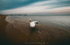 IMG_0454zw (Tomek Laskowski) Tags: swan landscape trip landscapephotography gdańsk canon canonphotography wildanimal wildnature nature naturephotography mood polskawobiektywie polska photography photo