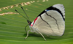 Perisama bomplandii (hippobosca) Tags: insect lepidoptera butterfly ecuador macro nymphalidae perisamabomplandii