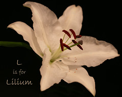 L is for Lilium (Deborah S-C -In The Fairy Garden) Tags: lily lilium flower floral petals stigma style filaments pollen anthers tepal white limegreen burgundy black lisforlilium beautiful beauty bright solitary texture textured texturethedornfelder1byspektoraladdendum favourite