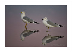 Double Gulls (prendergasttony) Tags: wildlife wild wings feathers feet florida tony prendergast nikon d7200 elements sand bird beach birdwatching birding reflection double