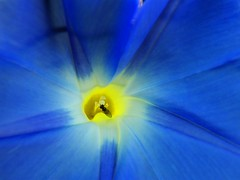 Blue Morning Glory (Stanley Zimny (Thank You for 46 Million views)) Tags: blue macro flower botanical garden yellow bug fly insect
