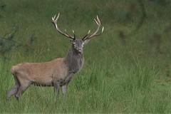Edelhert (jandewit2) Tags: edelhert deer deelerwoud d7100 natuurmonumenten natuur nederland netherlands nikon