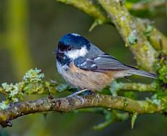 Coal Tit. (pecky2013) Tags: coaltit speciesperiparusater ukwildbirds nature naturephotography woodland bird