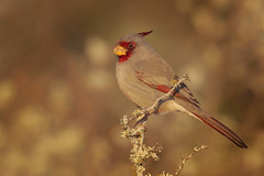 Pyrrhuloxia (Greg Lavaty Photography) Tags: pyrrhuloxia cardinalissinuatus texas december falcon statepark starrcounty birdphotography outdoors bird nature wildlife