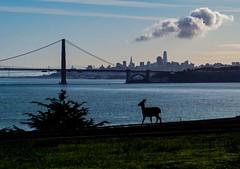 Deer Silhouette (LarryJH) Tags: silhouette deer goldengatebridge california sanfrancisco marinheadlands pacificocean animals morning clouds goldengate water bay