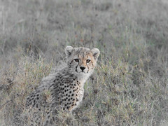 BEAUTIFUL YOUTH (eliewolfphotography) Tags: conservation conservationphotography cats bigcats bigcat cheetah cheetahs wildlife wildlifephotographer nature naturelovers nikon safari serengeti tanzania animals africa babyanimals explore