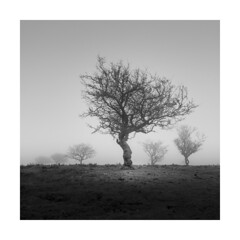 ALFA MALE ! (Nick green2012) Tags: tree square minimal mist silence blackandwhite dartmoor