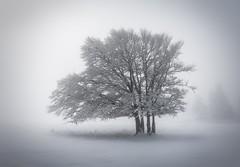 Foggy tree (Yerly.J) Tags: light outdoors outdoor scenics scenic switzerland baum arbre sony moody creuxduvan cold landscape nature cloud winter foggy misty mist fog atmosphere tree