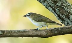IMG_3362  Red-eyed Vireo, Canada (ashahmtl) Tags: redeyedvireo bird vireo songbird vireoolivaceus presquileprovincialpark brighton ontario canada