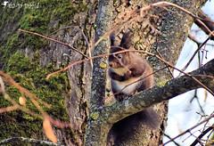 Je t'ai vu Jeanda 😉 (Jean-Daniel David) Tags: nature animal closeup forêt mammifère grosplan écureuil faune sousbois écureuilnoir nikon suisse vert arbre verdure mousse branche vaud nyon perché suisseromande perchoir nikond5600 afpnikkor70300mm14563ged blacksquirrel squirrel