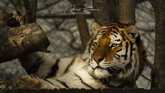 Awakening (Through-my-eyes.) Tags: male feline tiger amurtiger wild animal carnivore stripe tree face eyes