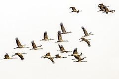 Kraniche, fliegen der Sonne entgegen (+he-photography+) Tags: zugvögel kraniche grusgrus mecklenburgvorpommern