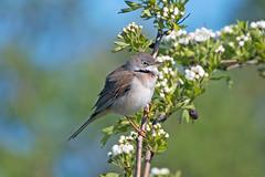 Whitethroat (drbut) Tags: whitethroat sylviacommunis warbler avian summermigrant farmland countryside wildlife nature bird birds