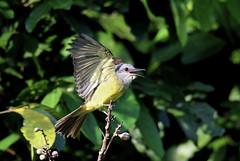 Tyrannus melancholicus (mazama973) Tags: bird oiseau frenchguiana guyane guyanefrançaise tyrannidae tyrannusmelancholicus tyranmélancolique tropicalkingbird