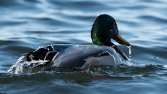 Quicksilver (jakegurnsey) Tags: bird duck wildlife birds animal gm sony birding mallard 100400mm f4556