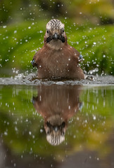 Doppelter Badespass (normen.nikon) Tags: baden d500 nikon 70200 fl 29 natur wildlife vogel bird tiere