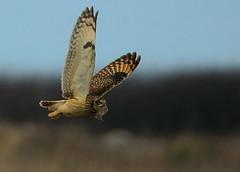 Short-eared Owl (Asio flammeus) hunting Voles (minvallaa) Tags: hunting shorteared owl winter vole grassland coastal migrant asioflammeus nomadic scarce